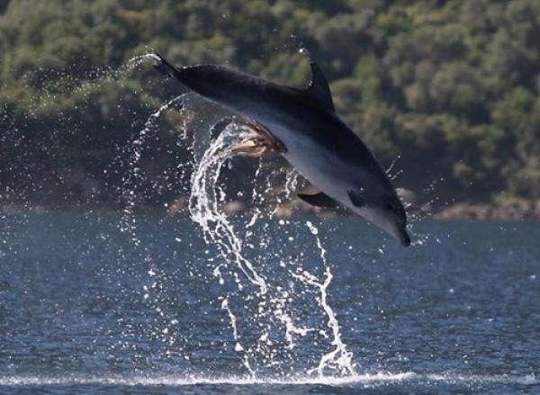 noticias Pulpo travieso ataca a delfín